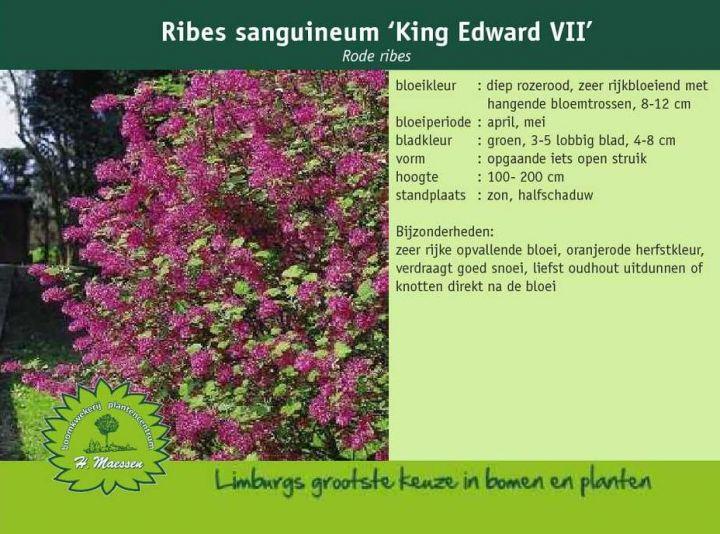 rode ribes ribes sanguineum 39 king edward vii 39. Black Bedroom Furniture Sets. Home Design Ideas
